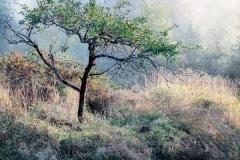 Saltspring Apple Tree