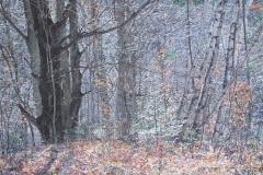 Quebec Woods