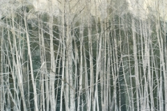 Near Stowel Creek: Trees in Winter
